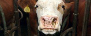 Führende Molkereien senken Milchpreise