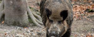 Deutschland hebt Schonzeiten für Wildschweine auf