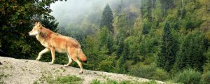 DBV geht von mehr als 1.000 Wölfen aus