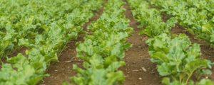 Rübenbauern verlangen Abgeltung für Neonics-Verbot