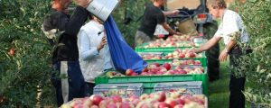 Prognosen versprechen starke Apfelernte