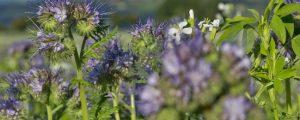 Biodiversitätsflächen bei Trockenheit freigegeben