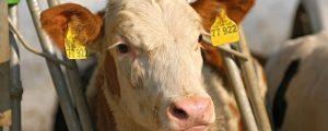 Brucellose auf Mühlviertler Milchviehbetrieb