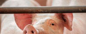 Schwächelnde asiatische Märkte drücken Schweinepreis