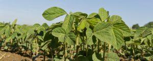 Soja wird seit 140 Jahren in Österreich angebaut