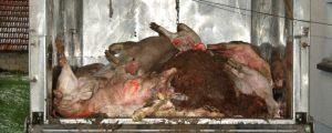Tierseuchenversicherung soll rasch umgesetzt werden
