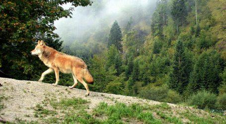 DBV: Wolfsrückkehr nur mit Akzeptanz und Regulierung