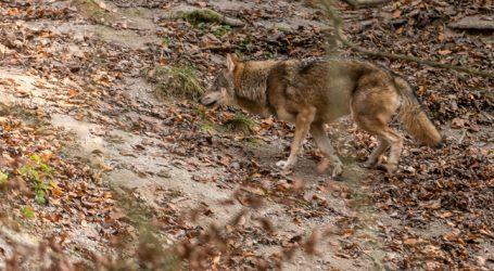 Wolfsmanagement soll neu aufgestellt werden