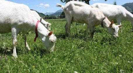 Ziegenhaltung gewinnt an Bedeutung