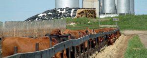 Zahl der Rinder in US-Mastbetrieben wächst