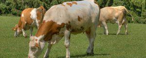 Rindfleisch: AMA-Gütesiegel braucht Mengensteuerung
