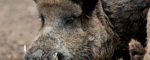 EFSA ruft zu Reduktion der Wildschweinbestände auf
