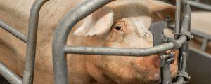 Afrikanische Schweinepest breitet sich in Rumänien aus