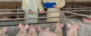 Afrikanische Schweinepest weiter am Vormarsch