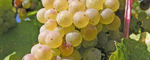 Weinlese beginnt mit extrem niedrigen Traubenpreisen