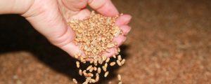 Schultes will AMA-Gütesiegel für Getreide und Eiweißfutter