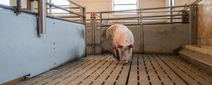 Afrikanische Schweinepest: 63.000 Tiere in Belgien notgeschlachtet