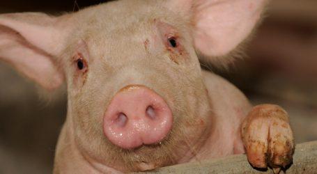 Überangebot drückt auf Schweinepreise