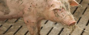 Schweinepest in Rumänien außer Kontrolle