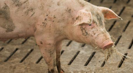 Belgien kann kaum mehr Schweinefleisch exportieren