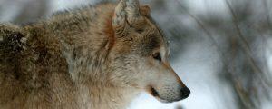 Auch Oberösterreich erlaubt Vergrämung von Wölfen
