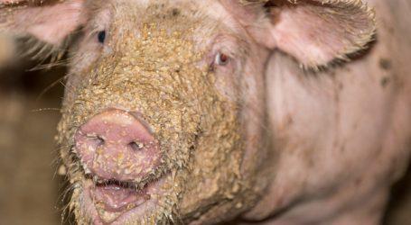 Schweinefleischproduktion in EU steigt