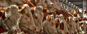 Land NÖ unterstützt Bauern bei der Rinderversicherung