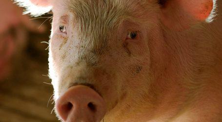 Schweinepreise verharren auf Krisenniveau