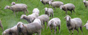 Herdenschutz als Thema bei Schafhalter-Tagung