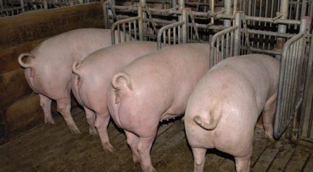 Chinesischer Betrieb keult 20.000 Schweine