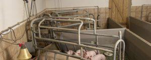 Viele Bauern steigen aus Ferkelproduktion aus