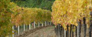 Vier neue Rebsorten als Qualitätswein zugelassen