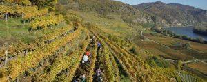 Klimaveränderungen sorgten für außergewöhnliches Weinjahr