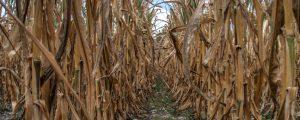 Dürre überschattete deutsches Agrarjahr