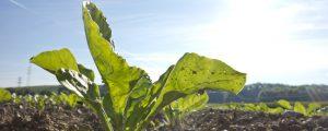 Auch Schweizer Zuckerproduktion rückläufig