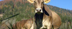 Bregenzerwälder Rinderbetrieb wegen TBC-Verdachts gesperrt