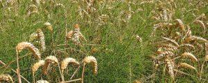 Pflanzenschutzindustrie sucht Vergleichsparzellen