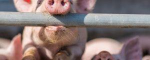 Abnehmendes Angebot stabilisiert Schweinepreise