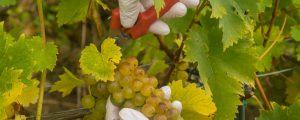 Große Weinernte bietet Marktchancen
