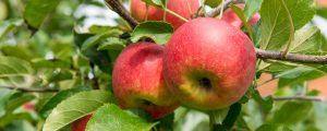 Pflückroboter für Äpfel ersetzt Erntehelfer
