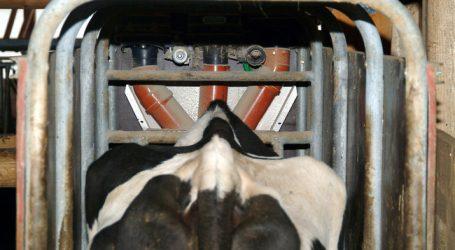 Phosphatquote und Futtermangel verringern Rinderbestand