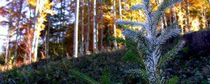 Verbissrate in Tirol über 40 Prozent