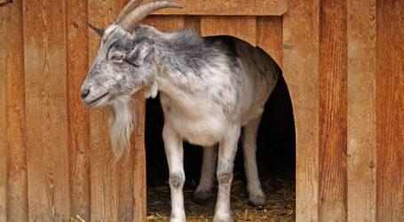 Highlight für Schaf- und Ziegenfreunde im Hausruckviertel