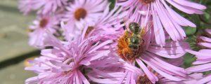 """""""Wir für Bienen"""": Kampagne zum Artenschutz in Niederösterreich"""