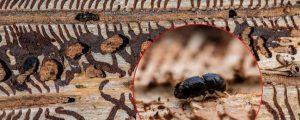 Viel bruttaugliches Holz für neue Borkenkäfer-Massenvermehrung