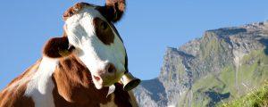 ARGE Heumilch sucht die hübschesten Kühe