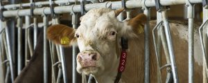 EU-Milchproduktion wird weiter steigen