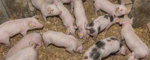 Preisrallye bei Schweinen legt Pause ein