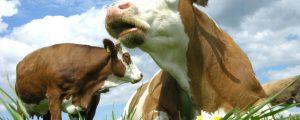Biomilch-Produktion in Österreich auf neuem Höchststand