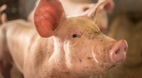 Schweine-Nachfrage überfordert chinesische Logistik